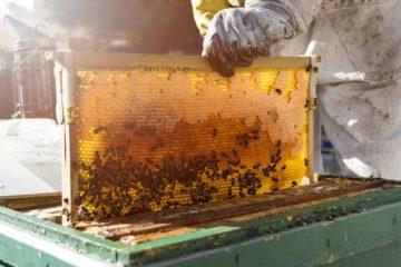 مقایسه استفاده از گرده، گرده غنی شده و جایگزین گرده برتولید ژل رویال توسط زنبور عسل-آکادمی الماس